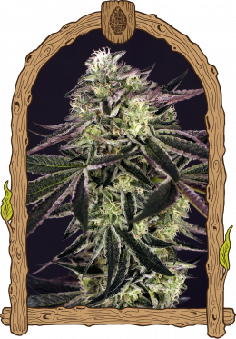 purple shot weed grow seeds hemp