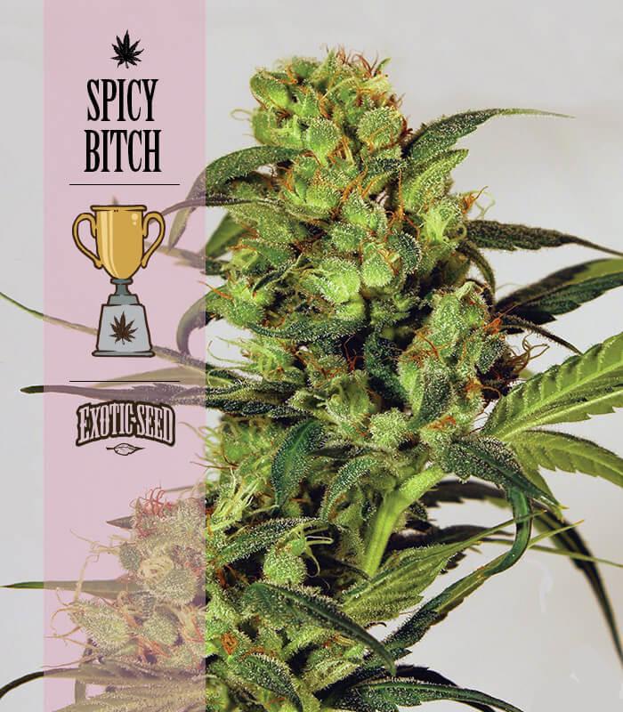 spicybitch_v0001